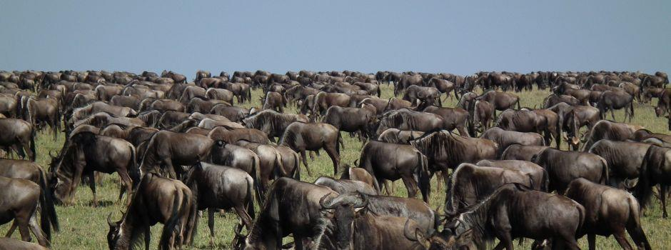 Seeing the Great Wildebeest Migration in Kenya