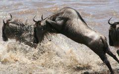 ITINERARY-03486: Seeing the Great Wildebeest Migration in Kenya